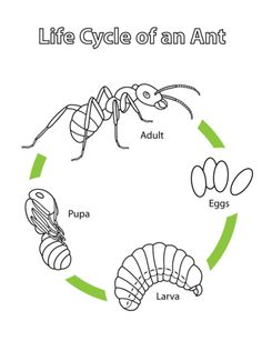 Life Cycle of an Ant Coloring page from Ants category. Select from 20890 printable crafts of cartoons, nature, animals, Bible and many more.