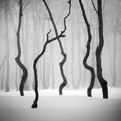 Snowy forest. Gnarled trees. Black and white photo.
