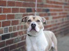 BERNARD - A1099596 - - Brooklyn  Please Share:TO BE DESTROYED 12/22/16 **NEEDS A NEW HOPE RESCUE TO PULL** -  Click for info & Current Status: http://nycdogs.urgentpodr.org/bernard-a1099596/