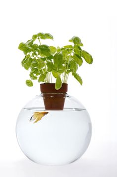 Above Water: Fish Bowls by Roger Arquer - Sharing the water between the fish bowl and the plant.