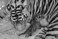 baby and mother tiger so cute love this picture