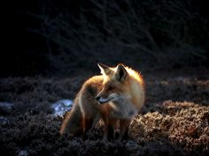 Red Fox Barnegat Bay, Arctic Circle, Red Fox, North Africa, Central America, Foxes, Animaux, Fox
