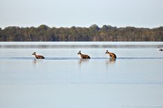 Kangaroos at Lake Weyba, Queensland, Australia.