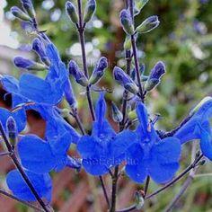 Salvia sagittata