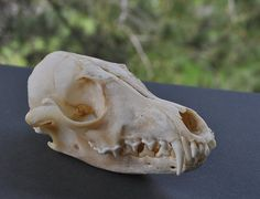 Exoitic Beautiful Real Red Fox Skull  Discount by SkyBlaze on Etsy, $25.00