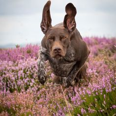 Not posted much recently with Otto out of action again so here's a favourite photo from our trip to #Wales in August. He loved hunting in the heather. #gsp #germanshorthairedpointer #onemanandhisdog #dogphotosuk