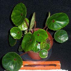begonia Conchifola Rubrimacula plant in 4 inch pot