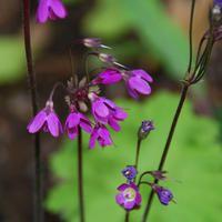 Cortusa matthioli - Klockviva - frö kan du köpa hos Plantanica