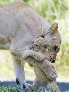 58 Trendy Baby Animals With Mom Big Cats Cute Baby Animals, Animals And Pets, Funny Animals, Wild Animals, Big Cats, Cats And Kittens, Cute Cats, Siamese Cats, Beautiful Cats