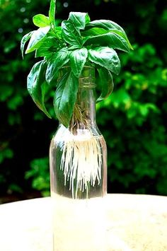 How to make more Basil Plants for free - one of the easiest herbs to propagate from cuttings. Can root in just a few days.
