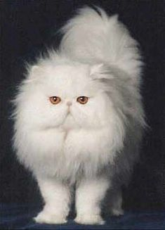 PERSIAN CAT BREED INFORMATION - #Ragdollbreeds - Different type of Cat Breeds at Catsincare.com #PersianCat #CatBreeds
