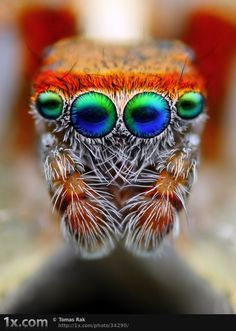 colourful #spider #eyes