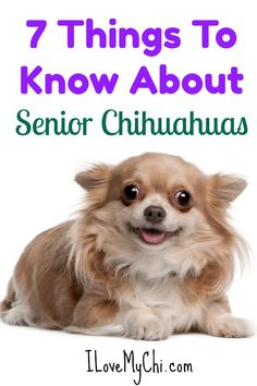 Effective Potty Training Chihuahua Consistency Is Key Ideas. Brilliant Potty Training Chihuahua Consistency Is Key Ideas. Cute Chihuahua, Chihuahua Puppies, Dogs And Puppies, Chihuahuas, Long Hair Chihuahua, Doggies, Chihuahua Facts, Small Dog Breeds, Training Your Dog