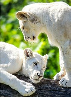 * white Lions