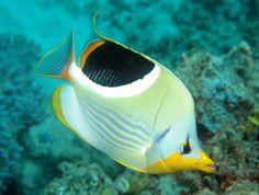 Chaetodon lineolatus. O maior de todos os peixe-borboleta, essa criatura magnífica vive do Mar Vermelho até o sul da África. Sua dieta consiste em invertebrados, pólipos de coral e algas