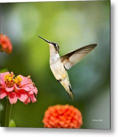 Sweet Promise Hummingbird Square Metal Print by Christina Rollo.  All metal prints are professionally printed, packaged, and shipped within 3 - 4 business days and delivered ready-to-hang on your wall. Choose from multiple sizes and mounting options.