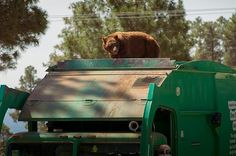 And here is an epic video of the bear getting said ride of a lifetime. | This Bear Was Filmed Taking A Ride On Top Of A Garbage Truck