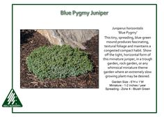 Blue Pygmy Juniper This tiny, spreading, blue-gray mound produces fascinating, textural foliage and maintains a congested compact habit. A close look at Juniperus horizontalis 'Blue Pygmy' shows that…