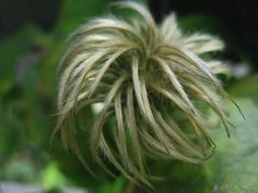 Head of a clematis!