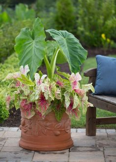 Best Summer Bulbs for Containers: Elephant earsare dramatic plants with big, heart-shaped leaves that nod and sway in every passing breeze. Though elephant ears are only winter hardy in zones 9-11, they can be grown anywhere in the U.S. In cool climates, the bulbs grow best in containers. This also makes it easy to bring the plants indoors for the winter months.