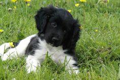 Stabyhoun puppy in the grass