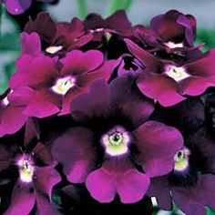 Verbena for butterfly garden