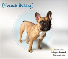 """Did you know that French Bulldogs were selectively bred from early Bulldogs into a """"toy"""" Bulldog and are known for their characteristic """"bat"""" ears? Read more about this breed by visiting Petplan pet insurance's Condition Checker!"""