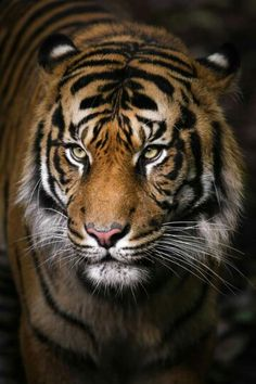 Tiger Portrait by Gemma Ortlipp on Melbourne zoo Nature Animals, Animals And Pets, Cute Animals, Safari Animals, Wild Animals, Beautiful Cats, Animals Beautiful, Beautiful Pictures, Tiger Pictures