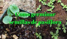 ►Como germinar semillas de pasiflora ► - Tu huerto urbano en casa - Planta Tu Huerto