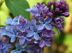 Lilac, by Glockenblume