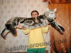 biggest maine coon cat - Google Search http://www.mainecoonguide.com/male-vs-female-maine-coons/