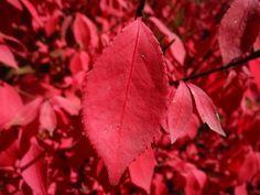 Burning bush fall color in Reno, Nevada.