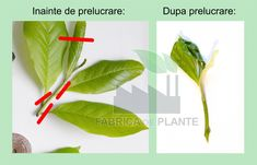 Prelucrarea butasului de magnolie Plant Leaves, Garden, Plant, Magnolia, Garten, Gardening, Outdoor, Home Landscaping, Tuin