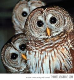 funny owls cute faces