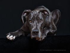 Great Dane by Elke Vogelsang on 500px