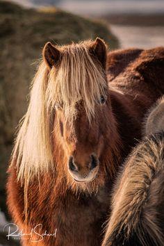 Iceland horse - Diese Aufnahme ist im Februar auf Island entstanden. Es ist unglaublich was diese Pferde für Temperaturen aushalten können. This photograph was taken in Iceland in February. It is unbelievable what these horses can stand for temperatures. Brown Bear, Iceland, Horses, Explore, Animals, February, Ice Land, Animales, Animaux