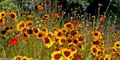 yellow Poppy Flowers Twitter Header