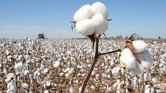 Ripples's Commodity Blog: COTTON MARKET UPDATE NEWS