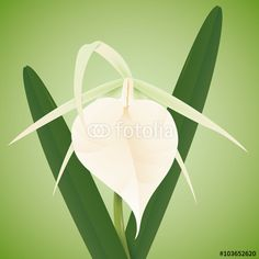 White Orchid with Big Labellum and Leaves White Orchids, Illustration, Leaves, Celestial, Big, Spring, Plants, Outdoor, Outdoors