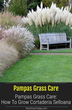 Hardy Cortaderia selloana care aka Pampas Grass is a good-looking perennial plant, offering lots in form and function we share growing, maintenance, pruning tips. [LEARN MORE] Ornamental Grasses For Shade, Perennial Grasses, Perennial Plant, Shade Perennials, Shade Plants, Landscaping Around Pool, Landscaping Plants, Drought Tolerant Grass, Shade Grass