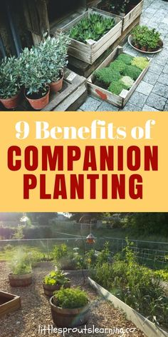 Companion planting is the practice of planting things together that help each other grow. Check out the benefits of companion planting for your garden! Container Vegetables, Planting Vegetables, Growing Vegetables, Container Gardening, Succulent Containers, Container Flowers, Container Plants, Home Vegetable Garden, Tomato Garden