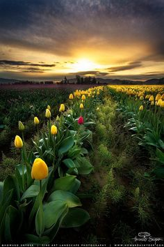 Skagit Valley, Washington, USA. There's something about flowers and sunsets that both get to me....