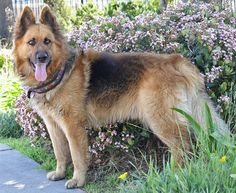 Oslo von Ohren is a stunning XLarge 2 year old long haired German Shepherd. Westside German Shepherd Rescue of Los Angeles