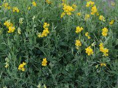 Niittynätkelmä - Lathyrus pratensis Wild Flowers, Nature, Garden, Plants, Planting Flowers