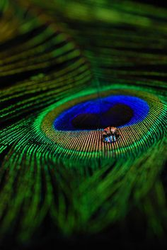 peacock feather with water droplet