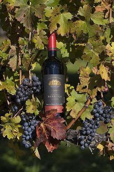 Nebbiolo, Barboursville Vineyard, Barboursville, Virginia