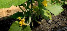 Bicarbonat de sodiu – salvatorul grădinii dumneavoastră! Bicarbonatul este un îngrășământ pentru castraveți, tomate și alte culturi! - Pentru Ea Pesto, Gardening, Sun, Plant, Lawn And Garden, Horticulture
