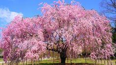 京都上賀茂神社の豪快で華やかな満開の斎王桜