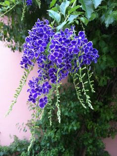 Golden Dew Drop (Duranta repens) shrub very attractive nectar plant to butterflies. Plants For Planters, Shade Plants, Blue Garden, Lawn And Garden, Duranta, Florida Gardening, All Things Purple, My Flower, Horticulture