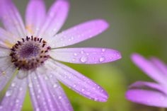 macro texture of purple colored daisy flower surface with water